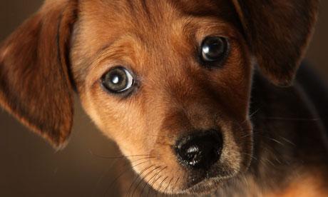 cute-puppy-dog-eyes-007