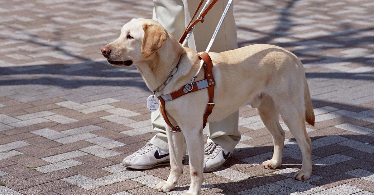 cane labrador di servizio