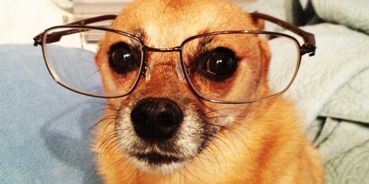 cane con occhiali per sembrare intelligente