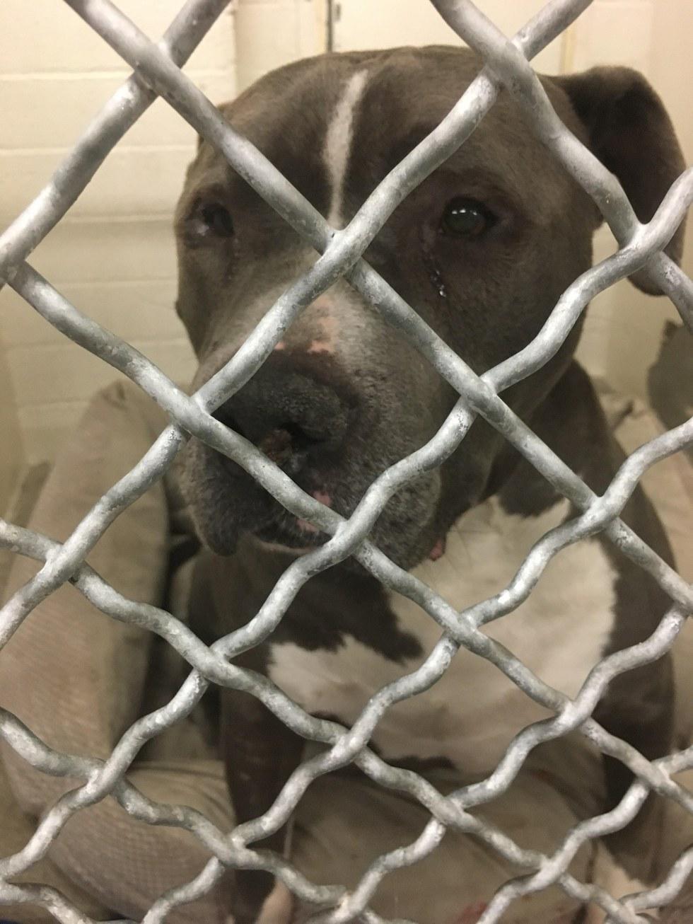 Questo cane piange per il dolore quando capisce che la sua famiglia l'ha abbandonato...