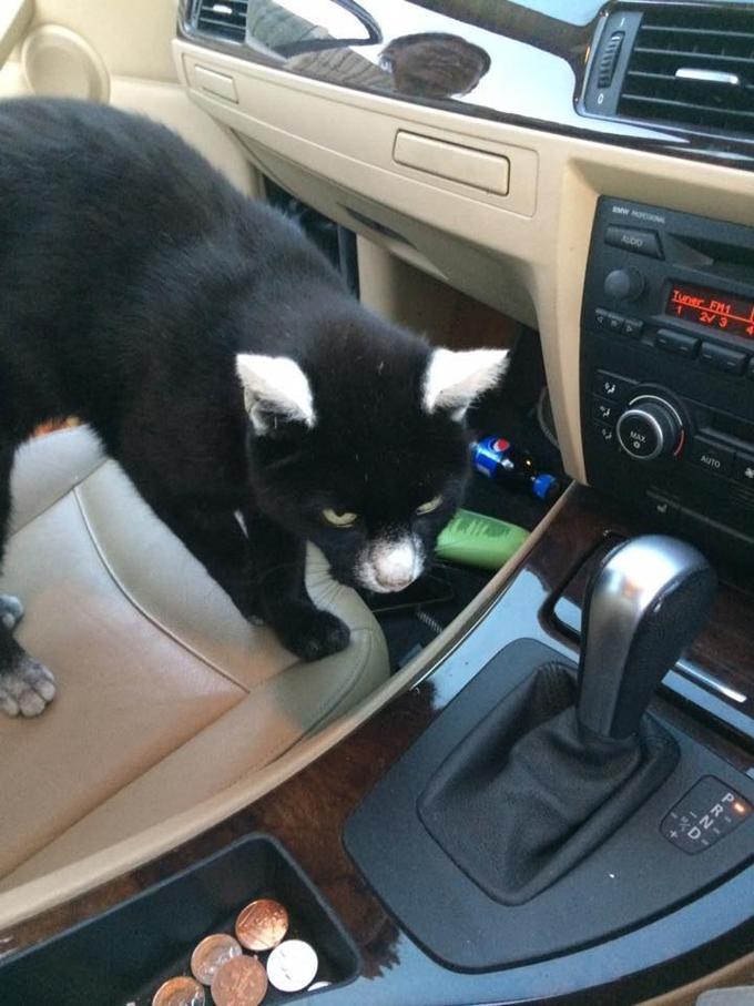 Questo Gatto-Panda ama intrufolarsi nelle auto di tutte le persone!