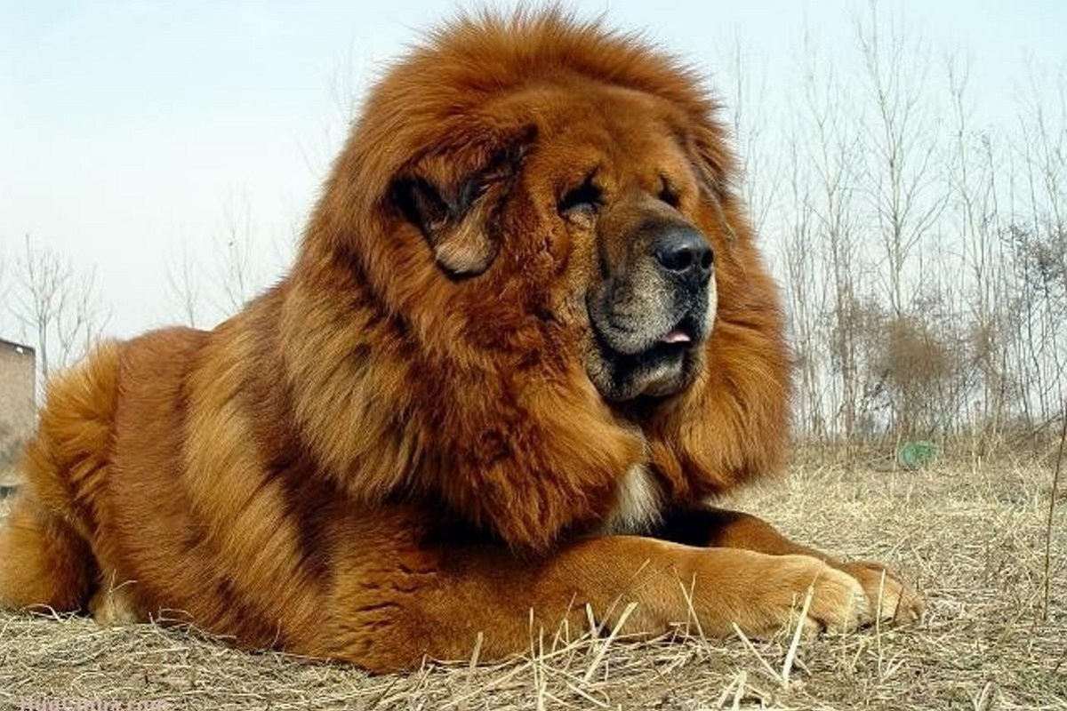 Tibetan Mastiff cane
