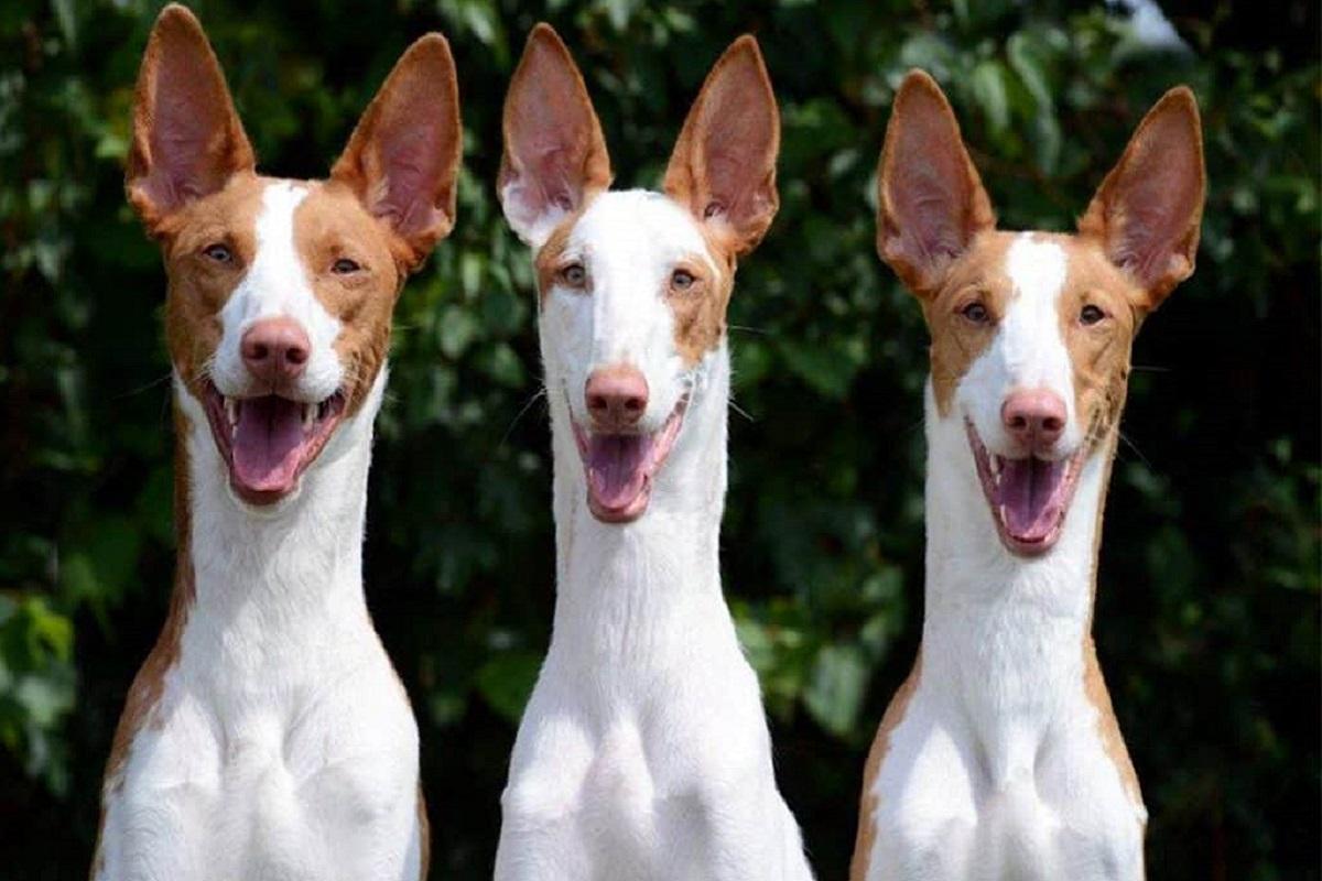 Podenco Ibicenco cane