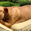 chained-rescue-pit-bull-enjoys-comfortable-beds-lola-fb