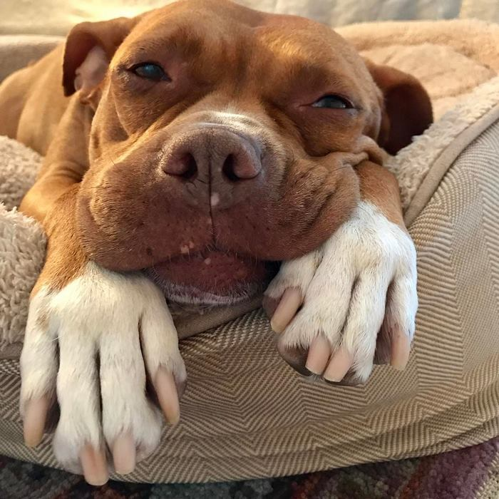 chained-rescue-pit-bull-enjoys-comfortable-beds-lola4