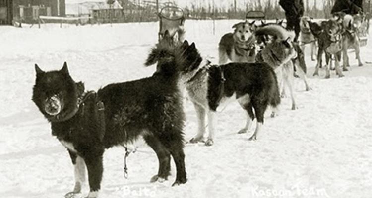 Ecco alcune foto molto rare di Balto, il cane che salvò un intero paese dalla difterite.