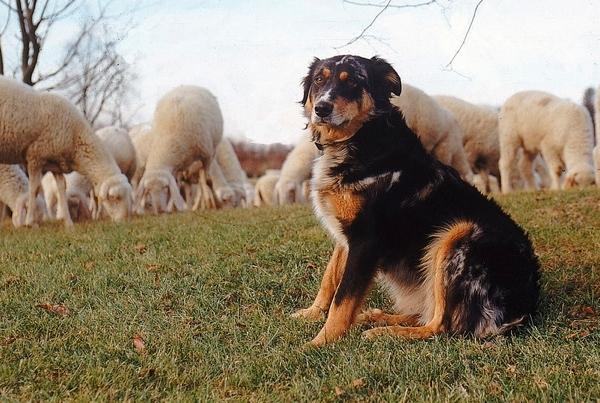 5 Mestieri che i cani svolgono da soli o insieme all'uomo!