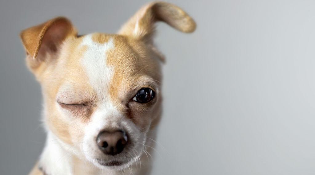 cane occhiolino