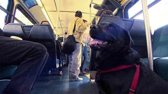 Ogni giorno questo cane prende lo stesso autobus da solo per andare nel suo posto preferito