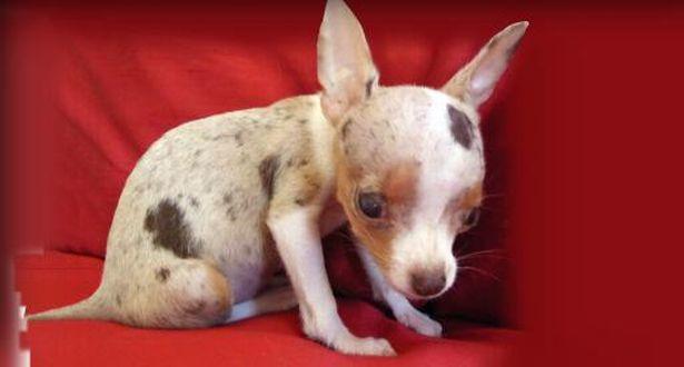 La lenta agonia dei cuccioli in miniatura allevati per entrare in una tazzina