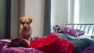 Poppy, il labrador che soccorre la sua madre umana durante gli attacchi epilettici