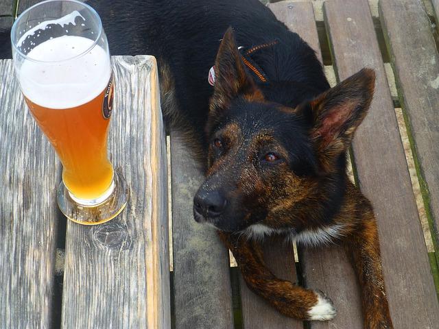 Cane che guarda una birra