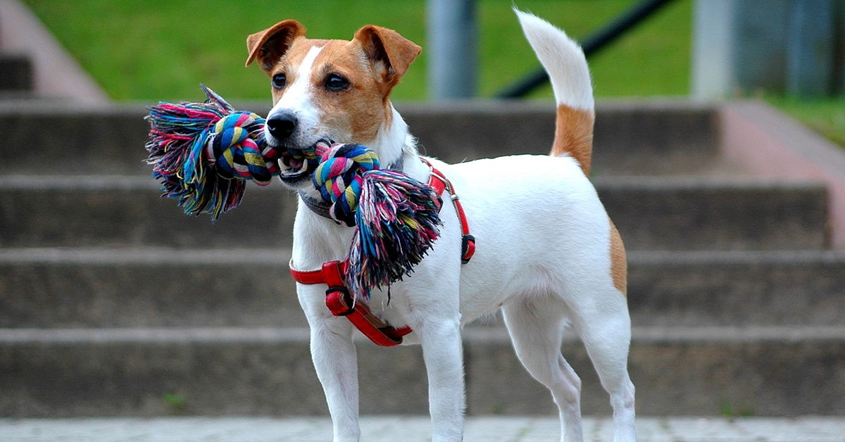 Russel Terrier cane