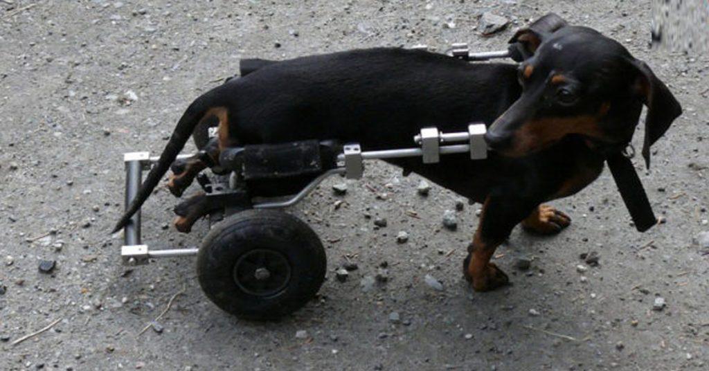 la-storia-di-trottola-la-canina-disabile-che-ha-trovato-una-famiglia