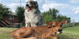 lincoln-e-calvin-unamicizia-tra-un-cane-ed-un-vitellino-davvero-unica