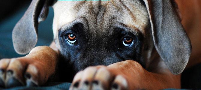 Quello sguardo colpevole del nostro cane: ecco che cosa significa