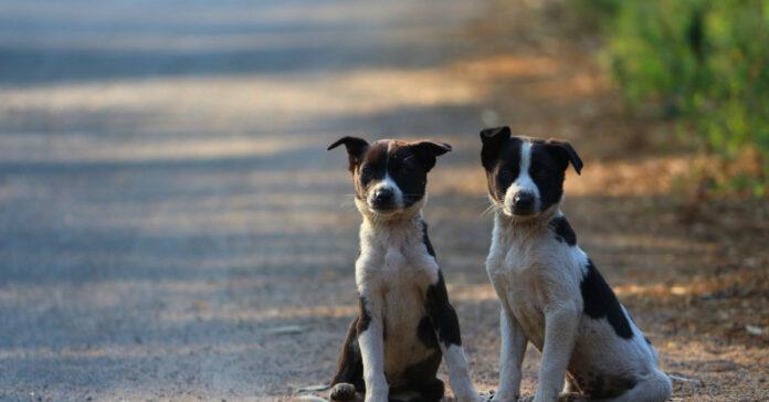 a che età i cani si accoppiano
