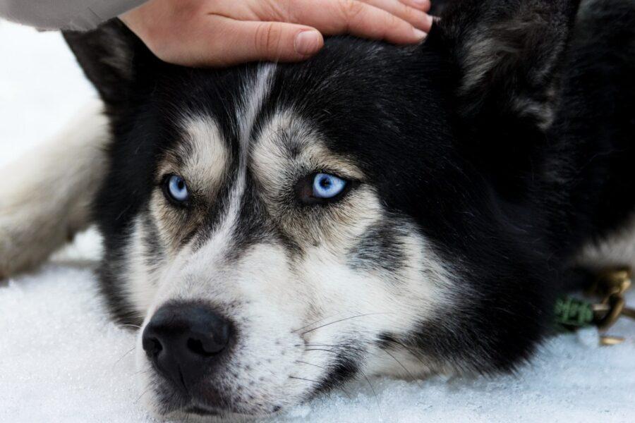 husky che vuole essere accarezzato