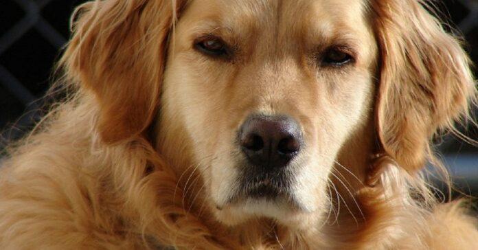 cane infastidito