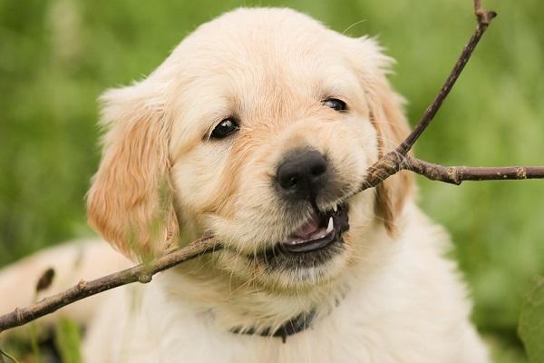 Cane che cambia i denti: cosa sapere