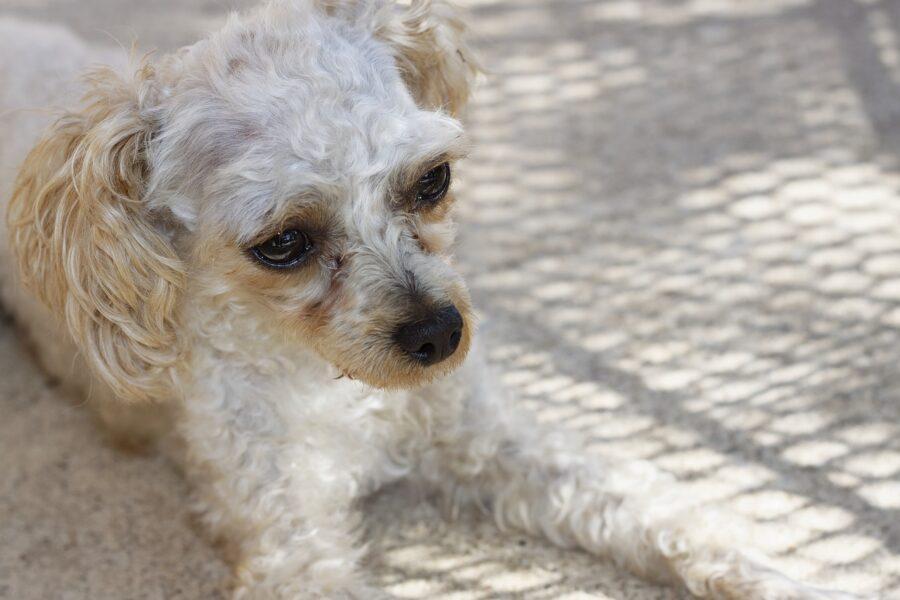 cane bianco riccioluto