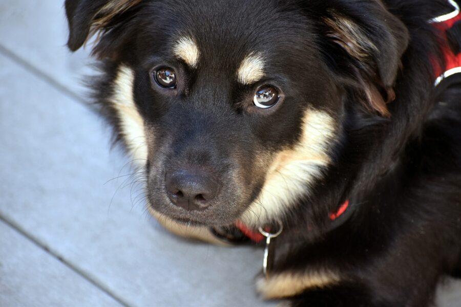 cane con collare rosso