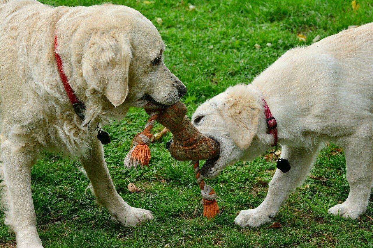 cani si contendono l'osso