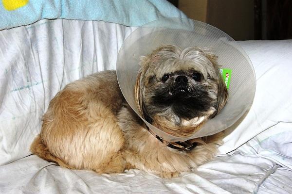 cane dopo intervento chirurgico