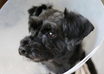 cane dopo intervento