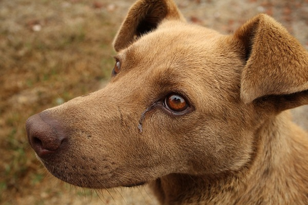 cane in lacrime