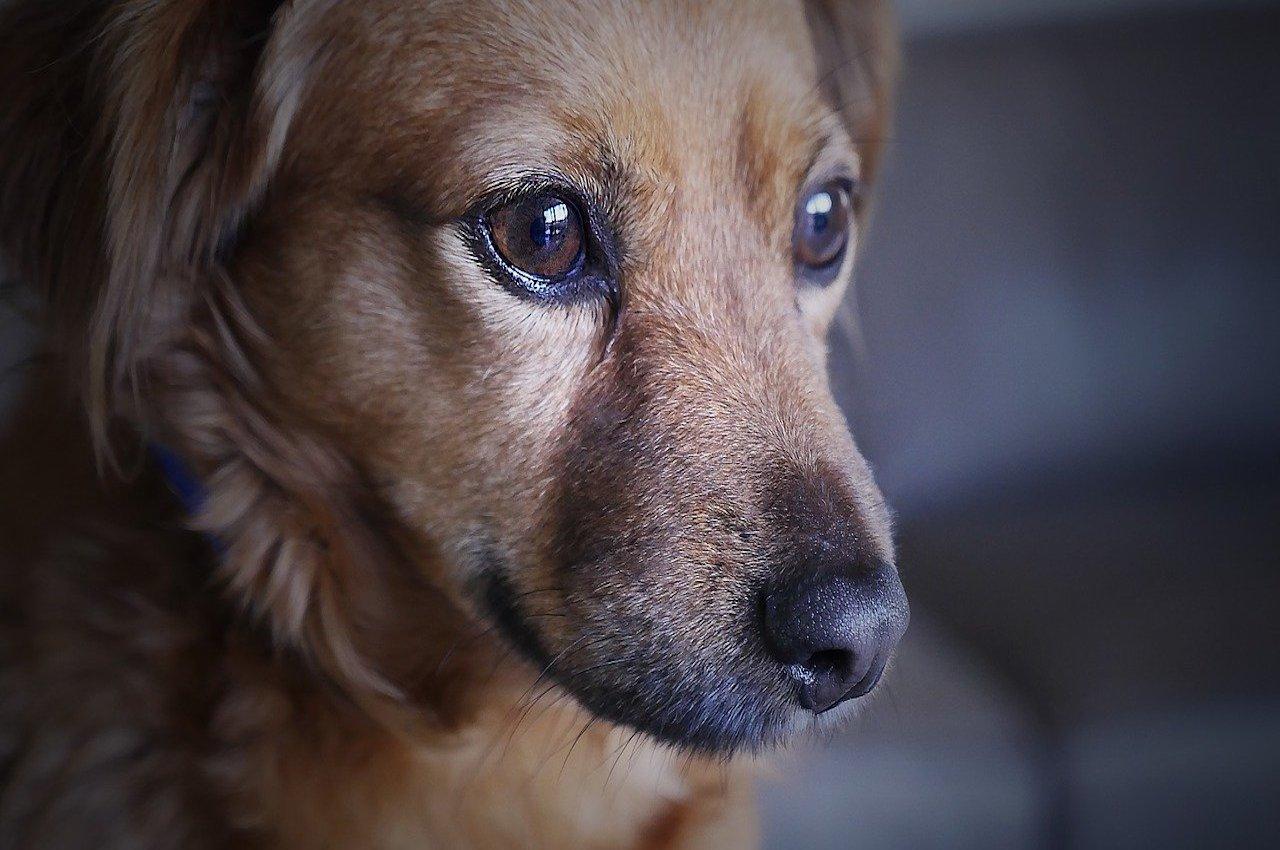 cane preoccupato