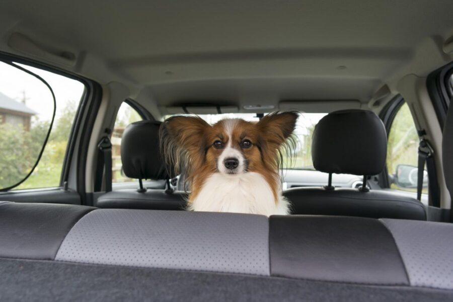 cane sul sedile posteriore dell'auto