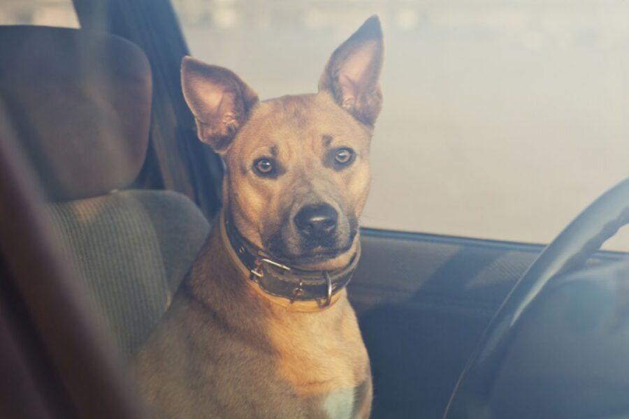 cane al posto di guida in auto
