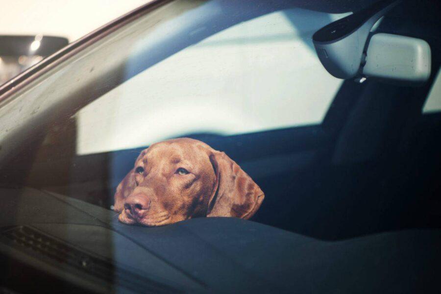cane sente caldo in auto