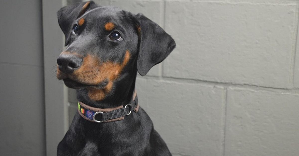 cucciolo di cane dobermann