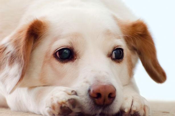 Filariosi del cane: cause, sintomi, cure