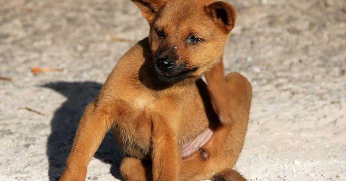 Follicolite canina