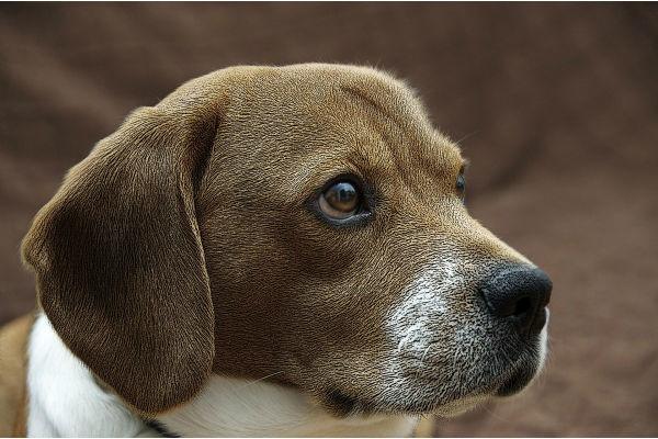 cane con orecchie basse