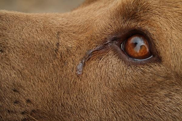 dettaglio di occhio di cane con lacrima