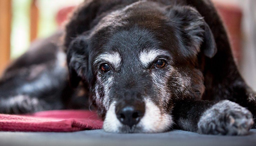 E' vero che i cani si allontanano quando sentono la loro morte vicina?