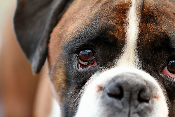 Leishmaniosi del cane: cause sintomi e malattia