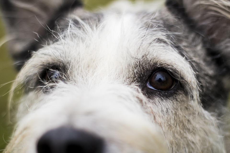 Pulire gli occhi del cane: come e quando farlo
