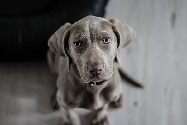 Otite nel cane: cause, sintomi, rimedi