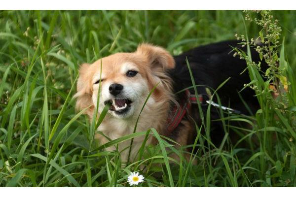 perché i cani mangiano l'erba