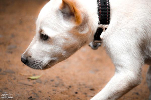 cane collare