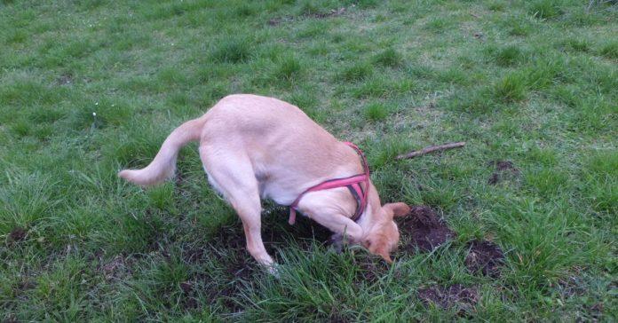 perché il cane scava