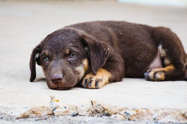 cane malinconico