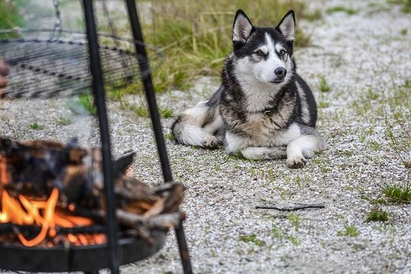 Perché il cane ulula