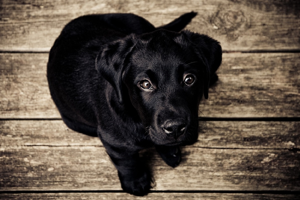 cucciolo di cane nero