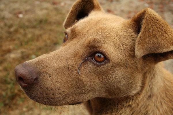 cane con occhi marroni